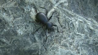 Black Beetle on Rock