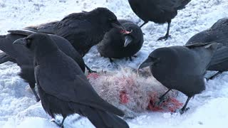 Black Crows Eating Dead Hare in the Snow