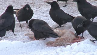 Black Crows Eating Dead Hare