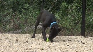 Black Puppy Playing with a Tennis Ball