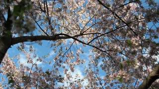 Blossom Branches Stretch To Sky