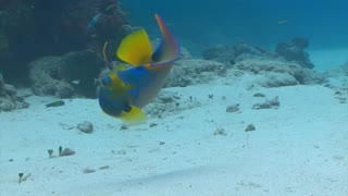 Blue And Yellow Fish Chasing Food