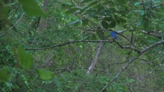 Blue Jay Flutters Wings on Small Branch