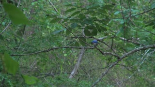 Blue Jay Perched on Small Branch