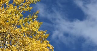 Blue skies and golden Aspen trees in autumn with blowing clouds