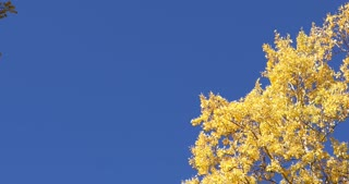Blue skies and golden Aspen trees in autumn