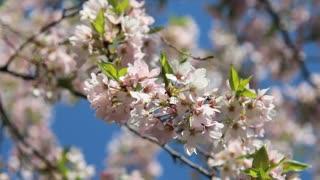 Bobbing Cherry Blossom Branch