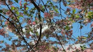 Bobbing Cherry Blossom Branches