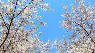 Bright Cherry Blossom Sky