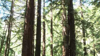 Bright Redwood Forest Tilt