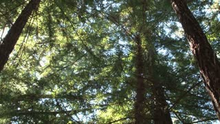 Bright Redwood Tree Tops Zoom Out