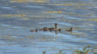 Brood of Swimming Ducks