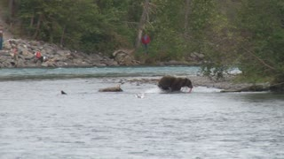 Brown Bear Running Ashore with Salmon