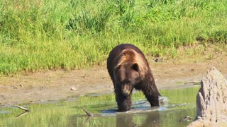 Brown Bear Walking in Water