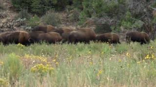 Buffalo Grazing Timelapse