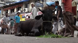 Bull Eating in the MIddle of a Busy Street