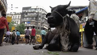 Bull Sitting in the Middle of a Busy Street