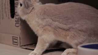 Bunny Sniffing Around Cardboard Box