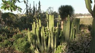 Cacti, cactuses, cactus
