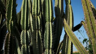 Cactus Plants in the Sun with Rack Focus