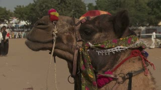Camel Decorated For Fair in India