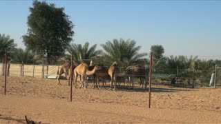 Camels By Desert Oasis