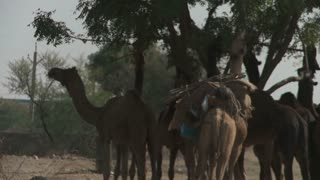 Camels Eating in Rajasthan