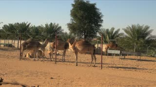 Camels Fenced In