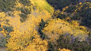 Flying backwards over fall foliage Aspen trees in forest
