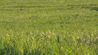 Cane Grass Field