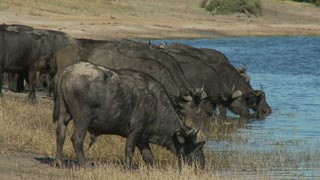 Cape Buffalo Drinking Water