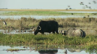 Cape Buffalo In Water