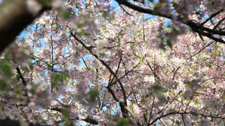 Cascading Blossom Branches