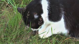 Cat Eating a Mouse in the Grass