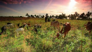 Cattle and Goats Graze in African Sunset