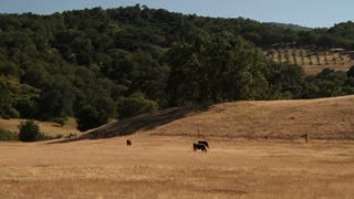 Cattle Eat In Dry California Field