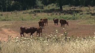 Cattle In Field 2