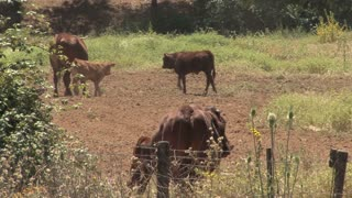 Cattle In Field 5
