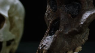 Caveman Skull - Australopithecus and Evolution