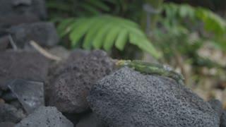 Chameleon Walking on Rocks