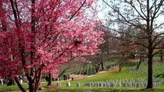 Cherry Blossom at Arlington National Cemetery