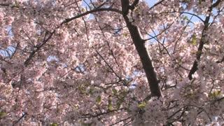 Cherry Blossom Blooms Tilt