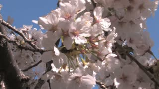 Cherry Blossom Blooms Up Close