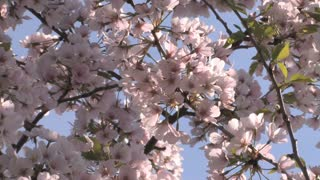 Cherry Blossom Blooms Zoom Out 2