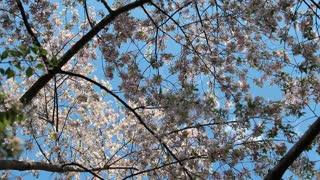 Cherry Blossom Botanical Scene