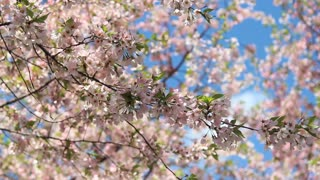 Cherry Blossom Nature Scene