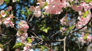 Cherry Blossom Petals Fluttering in the Wind
