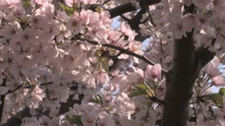 Cherry Blossom Petals in the Wind 2