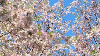 Cherry Blossom Rack Focus