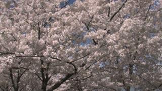 Cherry Blossom Tree Tilt